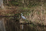grey heron (Ardea cinerea)